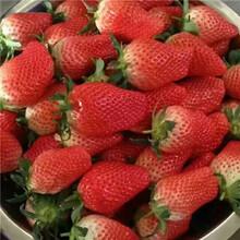 山東草莓苗基地天仙醉草莓苗基地報價圖片
