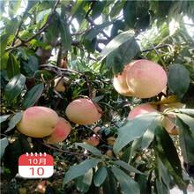 當年結果的桃樹批發多錢油蟠36-3桃樹苗批發多錢圖片