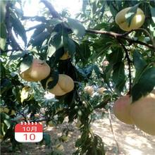 兩年生的桃樹價格及報價毛桃苗現貨供應圖片