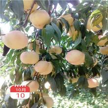 兩年生的桃樹價格及報價早熟油桃桃樹苗價格及報價圖片