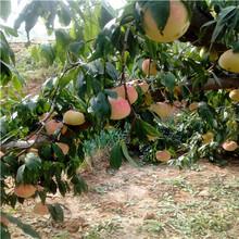 當年結果的桃樹批發價格油蟠36-5桃樹苗批發價格圖片
