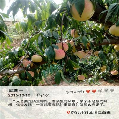 當年結果的桃樹批發基地 93桃樹苗批發基地