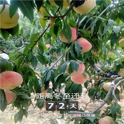 當年結果的桃樹多錢一棵 中油18桃樹苗多錢一棵