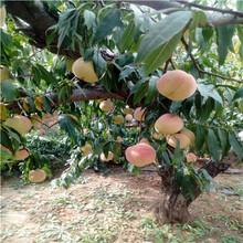 三公分桃樹批發價格冰糖脆桃桃樹苗批發價格圖片