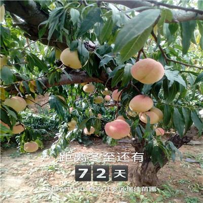 山東桃樹苗基地種植季節好 瑞蟠21桃樹苗批發價格