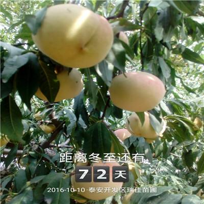 三公分桃樹基地報價 冬桃桃樹苗批發報價