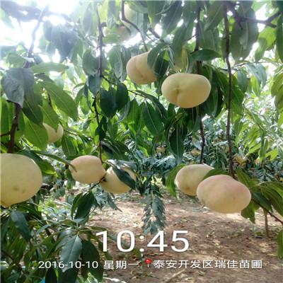 兩年生的桃樹品種特色 蟠桃桃樹苗現貨供應