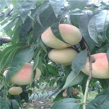 當年結果的桃樹現貨供應水蜜桃桃樹苗現貨供應圖片