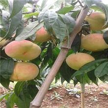 當年結果的桃樹價格及報價早紅桃桃樹苗價格及報價圖片