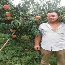 兩年生的桃樹基地報價黃金蜜1號桃樹苗基地報價圖片