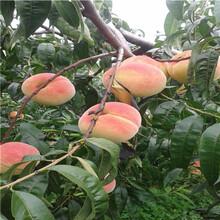 新品種桃樹苗批發價格中油4號桃樹苗批發價格圖片