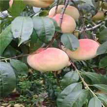 兩年生的桃樹批發多錢油蟠7—7桃樹苗批發多錢圖片