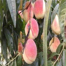 兩年生的桃樹黃金蜜1號桃樹苗價格及報價圖片