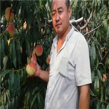 兩年生的桃樹價格及報價貴妃血桃苗種植技術圖片