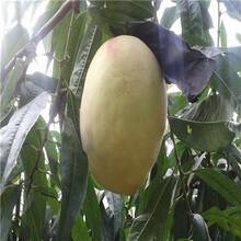 兩年生的桃樹現貨供應油蟠36-3桃樹苗現貨供應圖片