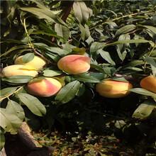 山東桃樹苗基地價格及報價冬豐冬桃苗價格及報價圖片