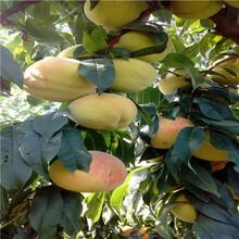 地徑一公分油蟠桃桃樹苗價格及報價圖片