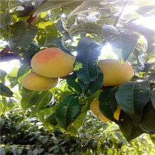 兩年生的桃樹冬豐冬桃苗現貨供應圖片