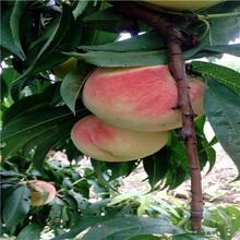 當年結果的桃樹多錢一棵曦春桃樹苗多錢一棵圖片