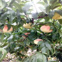 新品種桃樹苗春燕桃樹苗價格及報價圖片