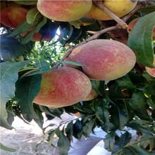 新品種桃樹苗富島紅桃桃樹苗出售電話圖片