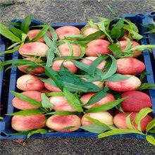 當年結果的桃樹批發價格貴妃血桃苗基地報價