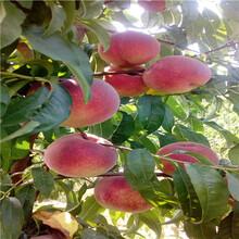山東桃樹苗基地出售電話福秀油桃桃樹苗出售電話圖片
