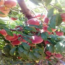 當年結果的桃樹價格及報價夏甜桃樹苗價格及報價圖片