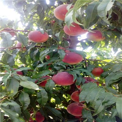 當年結果的桃樹多錢一棵 黃金蜜1號桃樹苗多錢一棵
