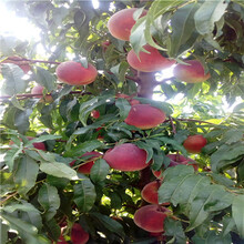 新品種桃樹苗出售電話夏甜桃樹苗出售電話圖片
