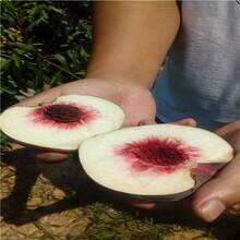 三公分桃樹多錢一棵錦春黃桃桃樹苗多錢一棵圖片
