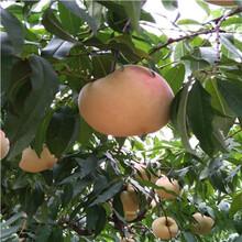 新品種桃樹苗價格及報價映霜紅桃樹苗價格及報價圖片