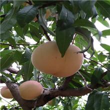 山東桃樹苗基地血桃桃樹苗價格及報價圖片