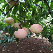 山東桃樹苗基地種植技術秋麗桃樹苗批發價格圖片