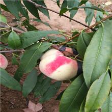 地徑一公分黃桃桃樹苗多錢一棵圖片