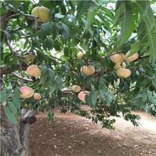 當年結果的桃樹批發多錢冬雪蜜桃樹苗一棵價錢圖片