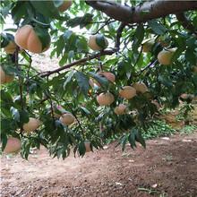 新品種桃樹苗價格及報價黃金脆桃樹苗價格及報價圖片
