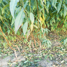 早熟品種桃樹苗種植季節好曦春桃樹苗苗場電話圖片