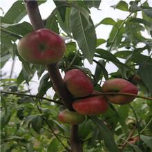 兩年生的桃樹價格及報價中油21桃樹苗價格及報價圖片