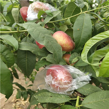 當年結果的桃樹多錢一棵黃金蜜1號桃樹苗多錢一棵圖片