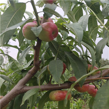 兩年生的桃樹批發多錢春蜜桃樹苗批發多錢圖片