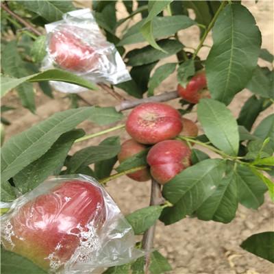 當年結果的桃樹批發基地 春蜜桃樹苗批發基地