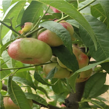 兩年生的桃樹多錢一棵秋雪桃樹苗多錢一棵圖片
