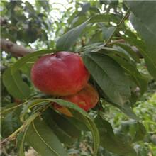 占地大桃樹多錢一棵83黃桃樹苗多錢一棵圖片
