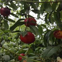 兩年生的桃樹現貨供應黑桃桃樹苗現貨供應圖片