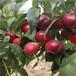 早熟品種桃樹苗中蟠17桃樹苗價格及報價