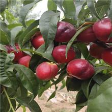 占地大桃樹價格及報價魯星油桃桃樹苗價格及報價圖片