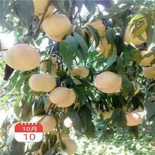 兩年生的桃樹批發價格冬豐冬桃桃樹苗批發價格圖片
