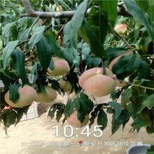當年結果的桃樹批發基地中蟠17桃樹苗批發基地圖片