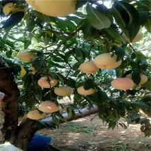 當年結果的桃樹苗場電話黑桃桃樹苗苗場電話圖片